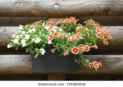 Beautiful freshness colorful petunia grandiflora flower white and red-orange border peatals with green leaves growing and blooming in plastic pot hanging wooden wall .