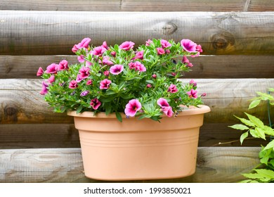 Beautiful freshness colorful petunia grandiflora flower pink peatals with green leaves growing and blooming in plastic pot hanging wooden wall .