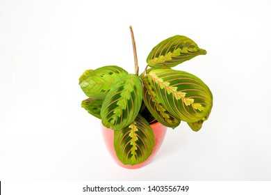Beautiful freshness maranta leuconeura plant or Prayer Plant with leave mix colors with green and red textured leaves on white background isolated  . concpept plant for decor indoor.