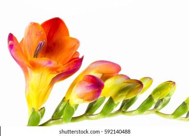 beautiful fressia flower isolated on white background
