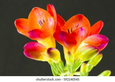 beautiful fressia flower isolated on black background
