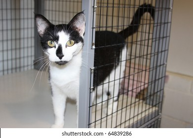 Beautiful friendly tuxedo cat at a local animal shelter waiting to be adopted into a loving home.