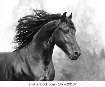 Beautiful Friesian horse action portrait in forest