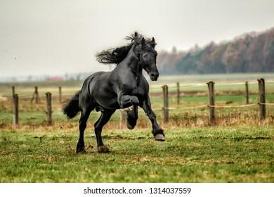beautiful friesian stallion