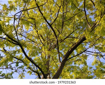 """Beautiful """"Frisia"""" locust (Robinia pseudoacacia). View from ground, looking up at tree. Bright golden plant, yellow green leaves growing in spring. Dark brown branches and trunk. Nature background."""