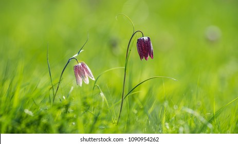The beautiful fritillary named Snake's Head with a pink and purple  chequered flower with a calm green background. Uppland, Sweden