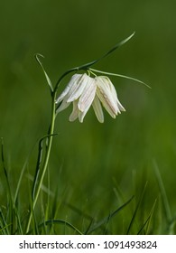 The beautiful fritillary named Snake's Head with two white  chequered flower with a calm green background. Uppland, Sweden