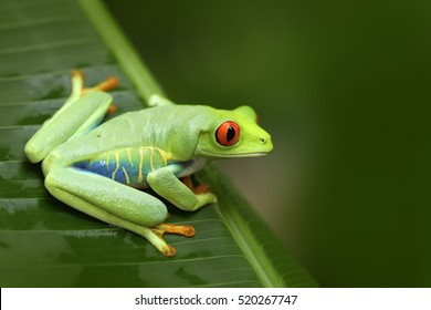 Beautiful frog in the forest, exotic animal from central America. Red-eyed Tree Frog, Agalychnis callidryas, animal with big red eyes, in the nature habitat, Costa Rica.