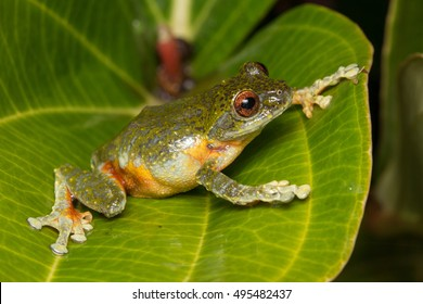 Beautiful Frog, Frog , Tree Frog, Tree frog of Borneo, Tree frog on leaf , Frog of Borneo , Frog with isolated black background , Masked Tree Frog (Rhacophorus Angulirostris)