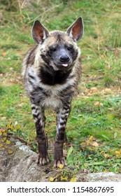Beautiful front view portrait of the striped hyena (Hyaena hyaena)