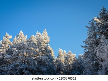 beautiful frosted trees in the forest