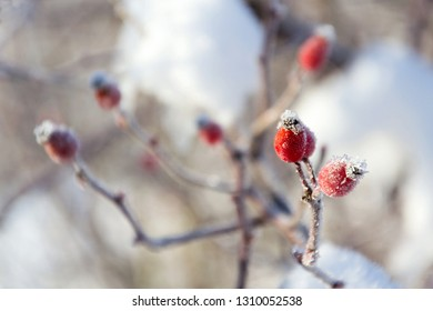 Beautiful frosty red hips of wild dog rose,  peaceful sunny winter day against clear blue sky background, copy space