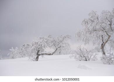 beautiful frozen tree in winter season snow stuck on branch and trunk