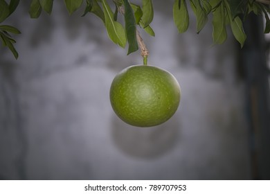 Beautiful fruit on the tree in the garden