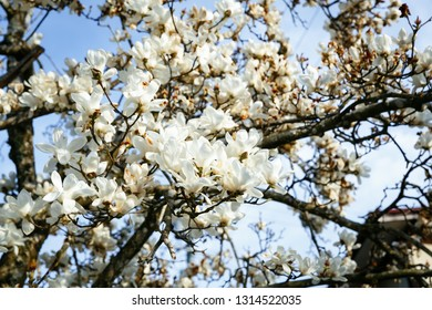 Magnolia Cylindrica Images Stock Photos Vectors Shutterstock