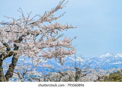 Beautiful full blooming of Cherry blossom trees at Goryokaku park, Hakodate, Japan.