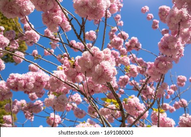 Belle éclosion complète de fleurs de cerisiers roses (sakura) sur fond bleu