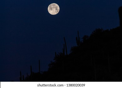 A beautiful full moon, Spring Equinox with moonset in the Sonoran Desert. A hill covered in saguaro cactus, Carnegiea gigantea in silhouette with a dark blue sky. Pima County, Tucson, Arizona. 2019.