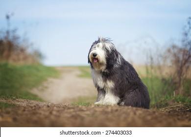 beautiful fun Bearded Collie dog Old English Sheepdog puppy sitting
