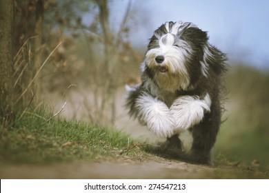 beautiful fun Bearded Collie dog Old English Sheepdog puppy running flying jump