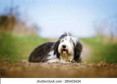 beautiful fun Bearded Collie dog Old English Sheepdog puppy relax