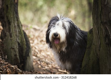 beautiful fun Bearded Collie dog Old English Sheepdog puppy in forest