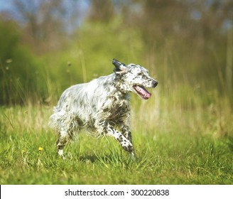 beautiful fun crazy young english setter dog puppy running jump flying hunting in summer