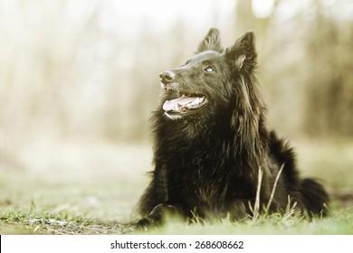 beautiful fun Groenendael dog puppy waiting