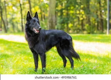Beautiful fun Groenendael dog puppy waiting. Black Belgian Shepherd Groenendael Autumn Portrait