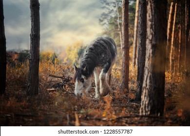 beautiful fun horse stallion breed gypsy vanner irish cob tinker with blue eyes and long mane in autumn forest with blue sky