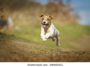 beautiful and fun young parson russel terrier dog jack russel terrier puppy jump und running