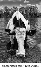 Beautiful funny cow on a watering place on farm. The portrait of cow drinking water on background of blue sky, river and forest. Black and white.
