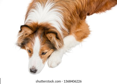 Beautiful funny red dog lies on the background and looks down. View from above. The background is isolated.