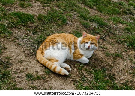 Beautiful funny  variegated in yellow and white kitten drowse on sunny green glade, Sofia, Bulgaria