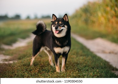 Beautiful Funny Young Black And Tan Shiba Inu Dog Outdoor In Countryside Road.