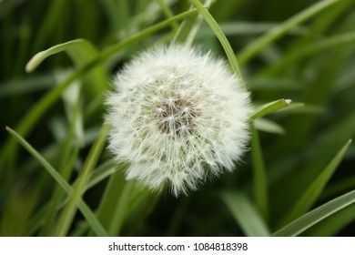 Royalty Free Puffball Flower Images Stock Photos Vectors