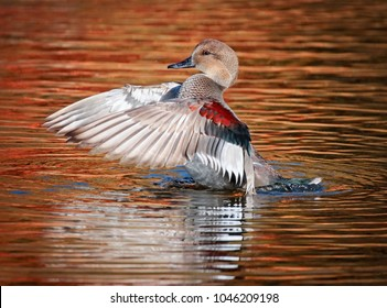 beautiful gadwall male duck flapping its wings in a pond during fall