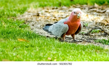 Beautiful galah cockatoo walking on ground