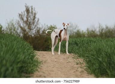Imágenes, fotos de stock y vectores sobre Corn Dog Grass