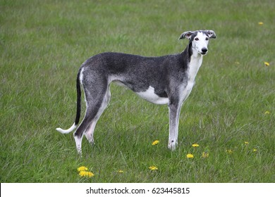 beautiful galgo is standing in an field