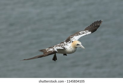 A beautiful Gannet (Morus bassanus) flying above the sea in the UK.