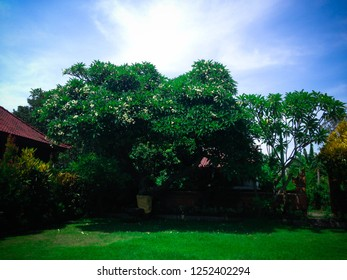 Beautiful Garden Of Balinese Hindu Temple With Old Frangipani Flower Tree