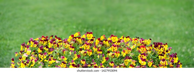 beautiful garden flowerbed with colorful viola flower. Flowering yellow-purple pansies in garden on  green background. Summer blossoming violas background. long banner. copy space
