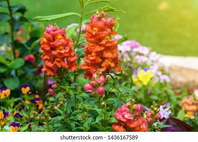 Beautiful garden flowers at sunny day. Group of pansy flowers snapdragon flower and other amazing plants.