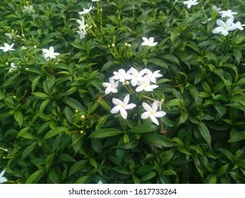 beautiful garden flowers are white