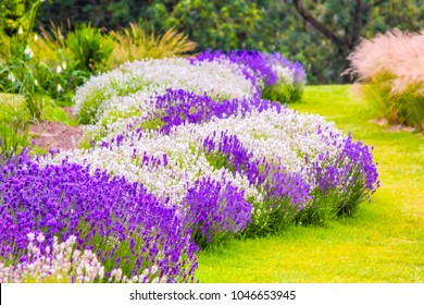 Beautiful garden with lavender flowers in purple and white