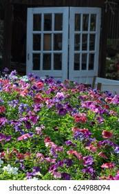 The beautiful garden of petunia flowers.