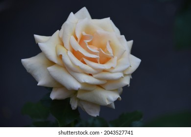A beautiful garden rose with a blurred out dark background