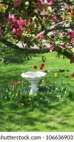 Beautiful garden view of birdbath and colorful tulip flowerbed with a flowering crab apple tree with pink blossoms in the foreground on a warm & sunny spring day in Nova Scotia, Canada