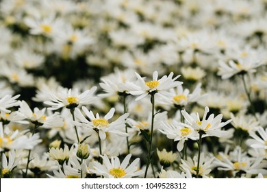 Beautiful garden white daisy flowers ( Cuc hoa mi) at Nhat tan, Ha Noi, Vietnam. Daisy is the featured flower in the transition of autumn and winter.